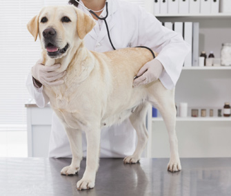 Labrador Retrievers, Golden Retrievers, Boxers and German Shepherds are at higher risk for developing hemangiosarcoma. Photo Credit: Thinkstock
